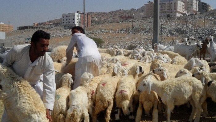 17 Ribu Ekor Daging Domba dari Saudi Untuk Indonesia