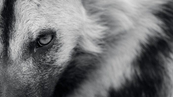 Video: Sejumlah Hyena Berkeliaran di Pemukiman Najran Saudi